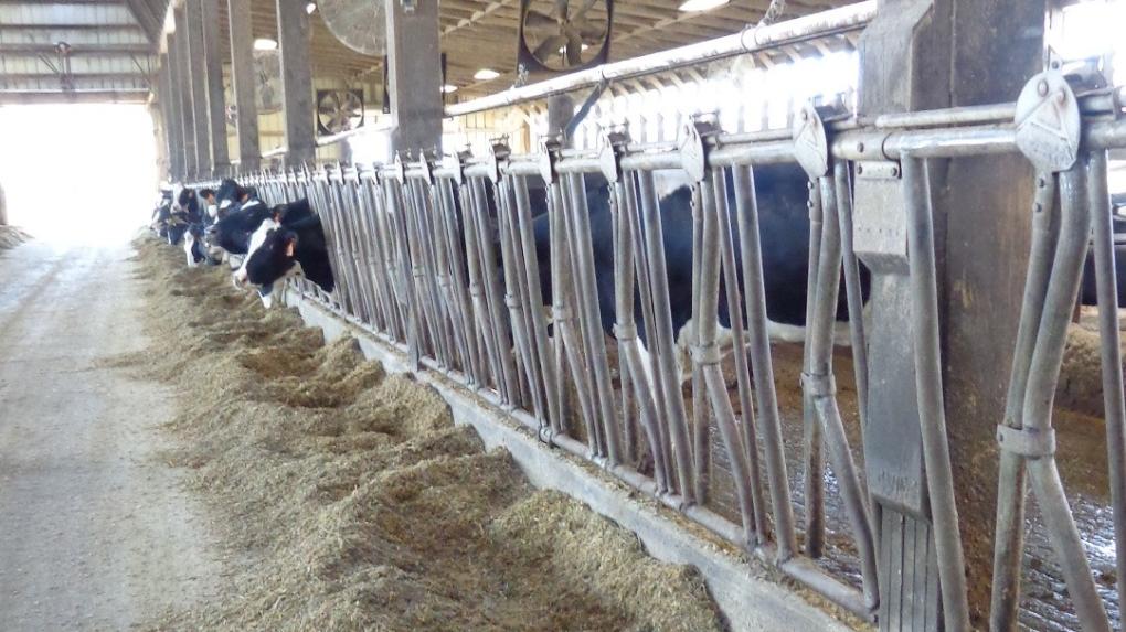 Cows at Wolf Creek Dairy Farm